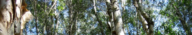 Image of a paperbark forest in the Hunter subregion